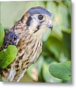 Falcon At Rest Metal Print
