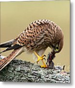 Falcon's Breakfast  Metal Print
