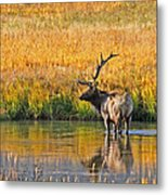 Fall Elk Reflection Metal Print