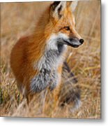 Fall Fox Metal Print
