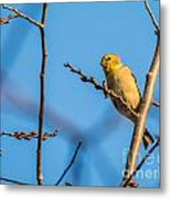 Fall Goldfinch Metal Print