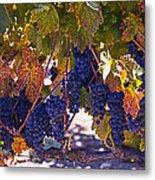 Fall Grape Harvest Metal Print