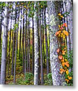 Fall Ivy In Pine Tree Forest Metal Print