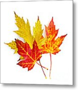 Fall Maple Leaves On White Metal Print