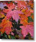 Fall Maples Metal Print