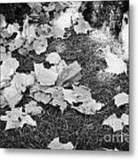 Fallen Acer Maple Leaves On Ground Autumn Fall Celebration Florida Usa Metal Print