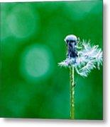 Fallen Off Dandelion - Featured 3 Metal Print