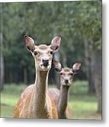fallow deer Hochwildpark Rhineland Kommern Mechernich Germany Metal Print