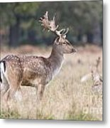 Fallow Deer Buck On Guard  Metal Print