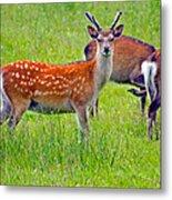 Fallow Deer Metal Print