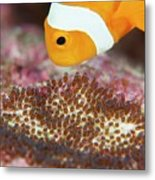 False Clown Anemonefish Tending Its Eggs Metal Print
