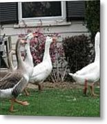 Family Of Ducks Metal Print