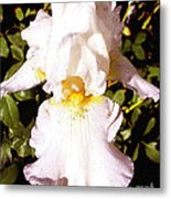 Fancy Lady White Iris Metal Print