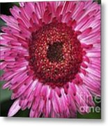 Fancy Pink Daisy Metal Print