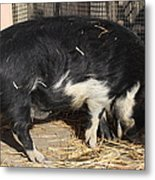 Farm Pig 7d27344 Metal Print by Wingsdomain Art and Photography