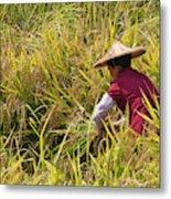 Farmer Harvesting Rice On The Terrace Metal Print