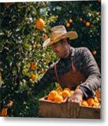 Farmer Picking Ripe Oranges From Orange Trees In Orange Grove Metal Print