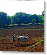 Farmer With Cow Metal Print