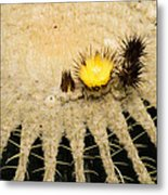 Fascinating Cactus Bloom - Soft And Fragile Among The Thorns Metal Print