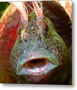 Feather Blenny - A Fish  Metal Print