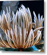 Feather Duster Worms 2 Metal Print