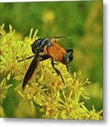 Feather-legged Fly On Goldenrod - Trichopoda Metal Print