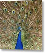 Feather Show Metal Print