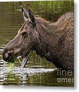 Feeding Moose Metal Print
