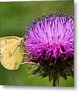 Feeding On Thistle Metal Print