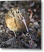 Feeding Woodcock Metal Print