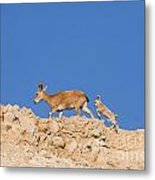 female and young Nubian Ibex Metal Print