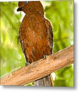 Female Andean Cock-of-the-rock Metal Print