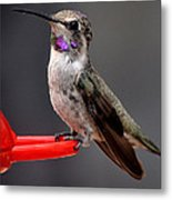 Female Anna's Hummingbird On Perch Posing For Her Supper Metal Print