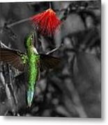 Female Anna's Hummingbird Metal Print by Old Pueblo Photography