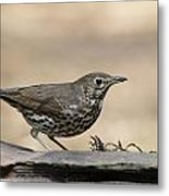 Female Blackbird Metal Print