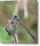 Female Blue Dasher In July  Metal Print