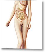 Female Body With Full Endocrine System Metal Print