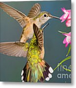 Female Broad-tailed Hummingbird Metal Print