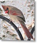 Female Cardinal Metal Print by John Kunze
