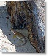 Female Collared Lizard Metal Print