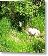 Female Deer Resting Metal Print