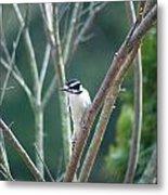 Female Downy Woodpecker Metal Print