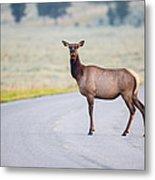 Female Elk Crossing The Road At Yellowstone Metal Print