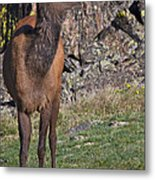 Female Elk Metal Print