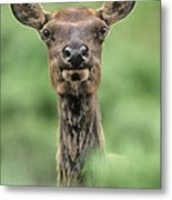 Female Elk Portrait Yellowstone National Park Wyoming Metal Print