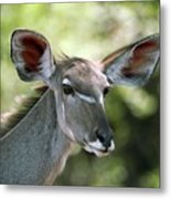 Female Greater Kudu Metal Print