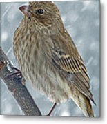 Female House Finch In Snow 1 Metal Print