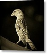 Female House Finch Metal Print