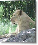 Female Lion On Guard Metal Print
