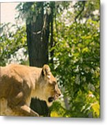 Female Lion On The Move Metal Print